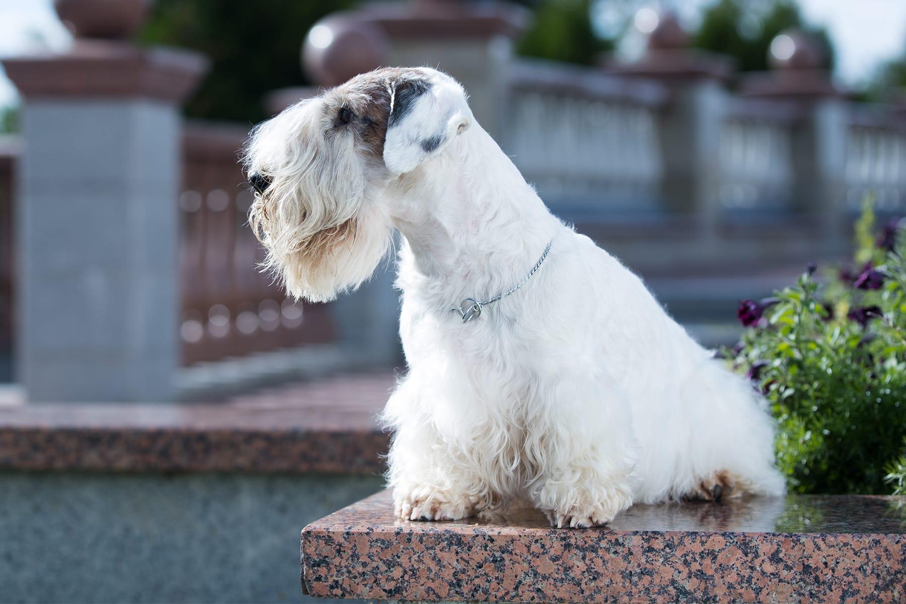 Sealyham Terrier sitzt