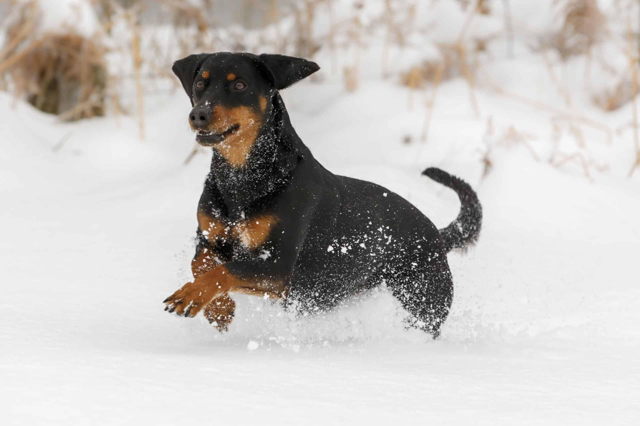 Tiroler Bracke im Schnee