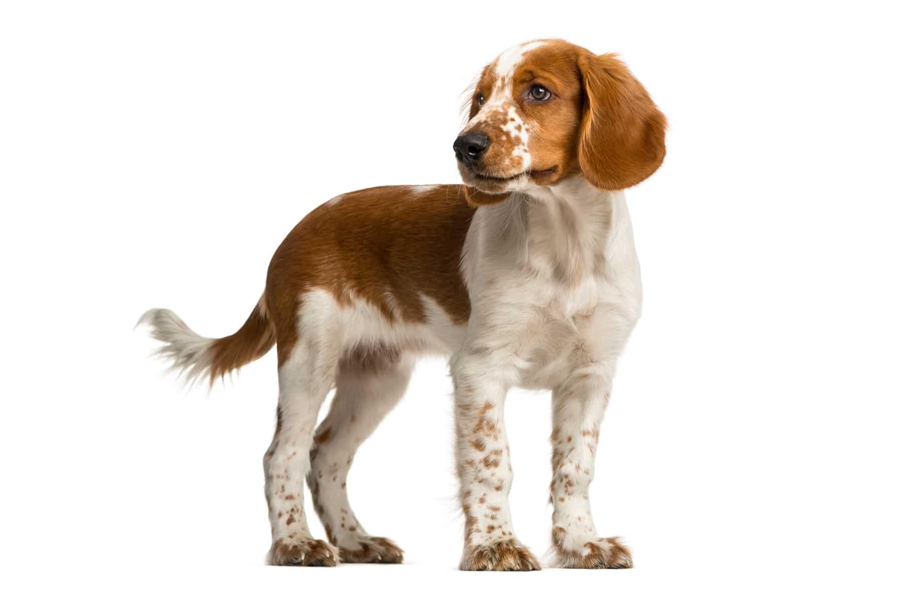 Welsh Springer Spaniel Hund Profilbild