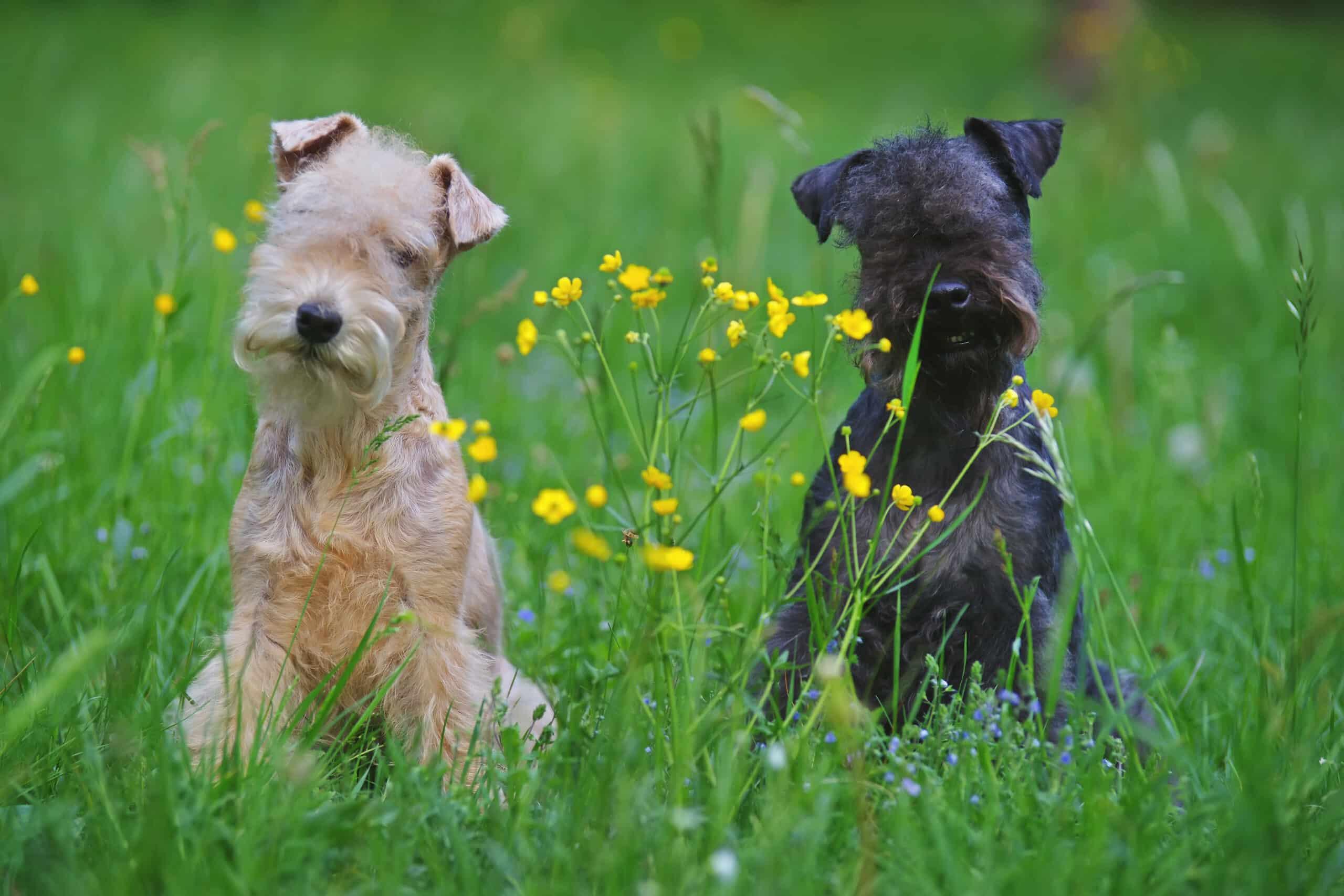Zwei Lakeland Terrier