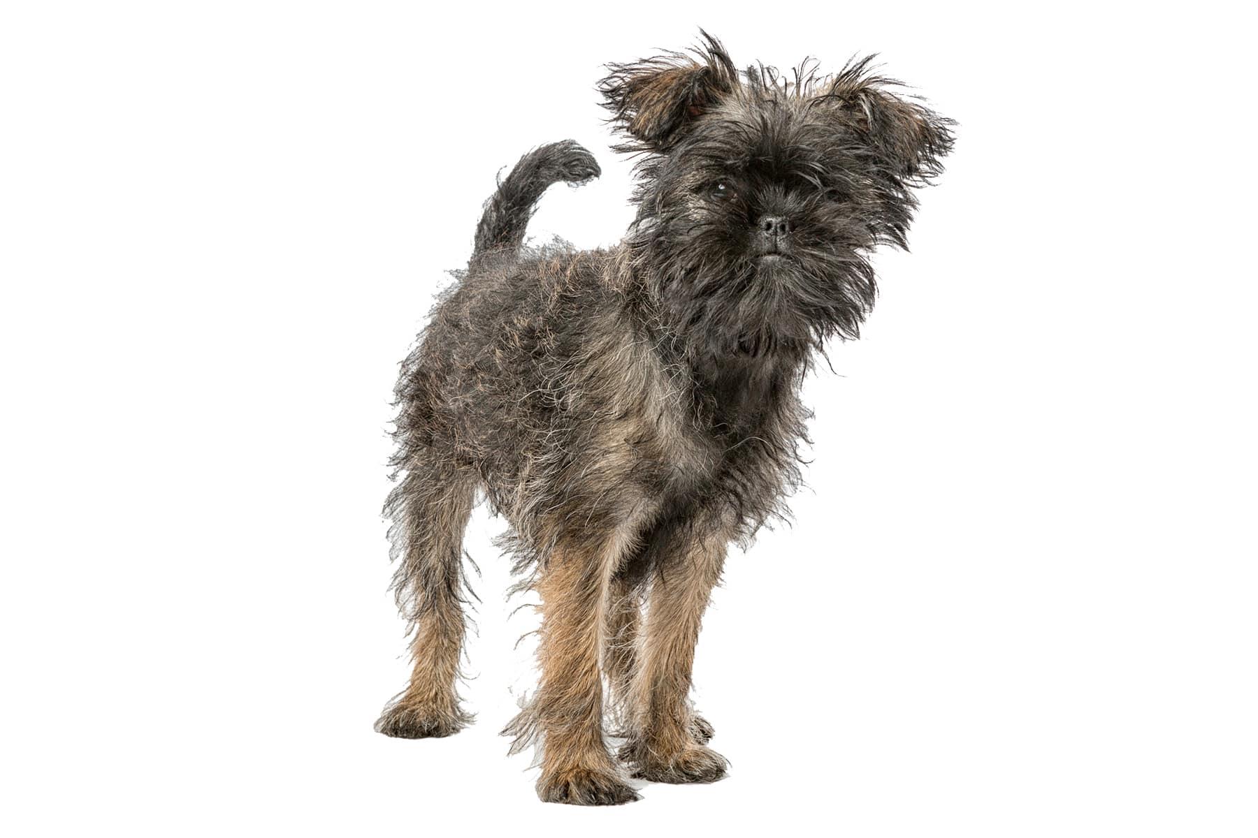 Affenpinscher Hund Profil
