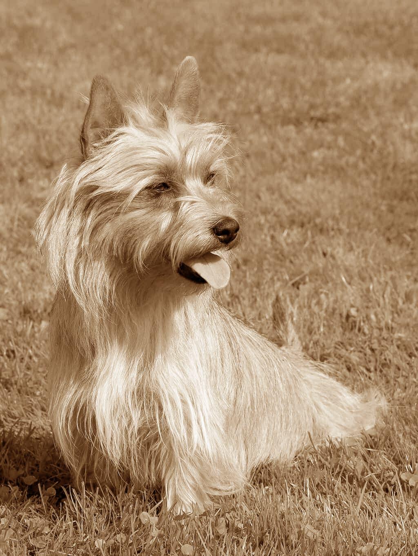 Australian Terrier Geschichte