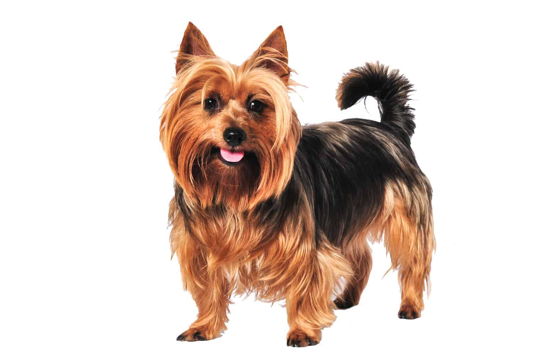 Australian Terrier Hunderasse Profilbild