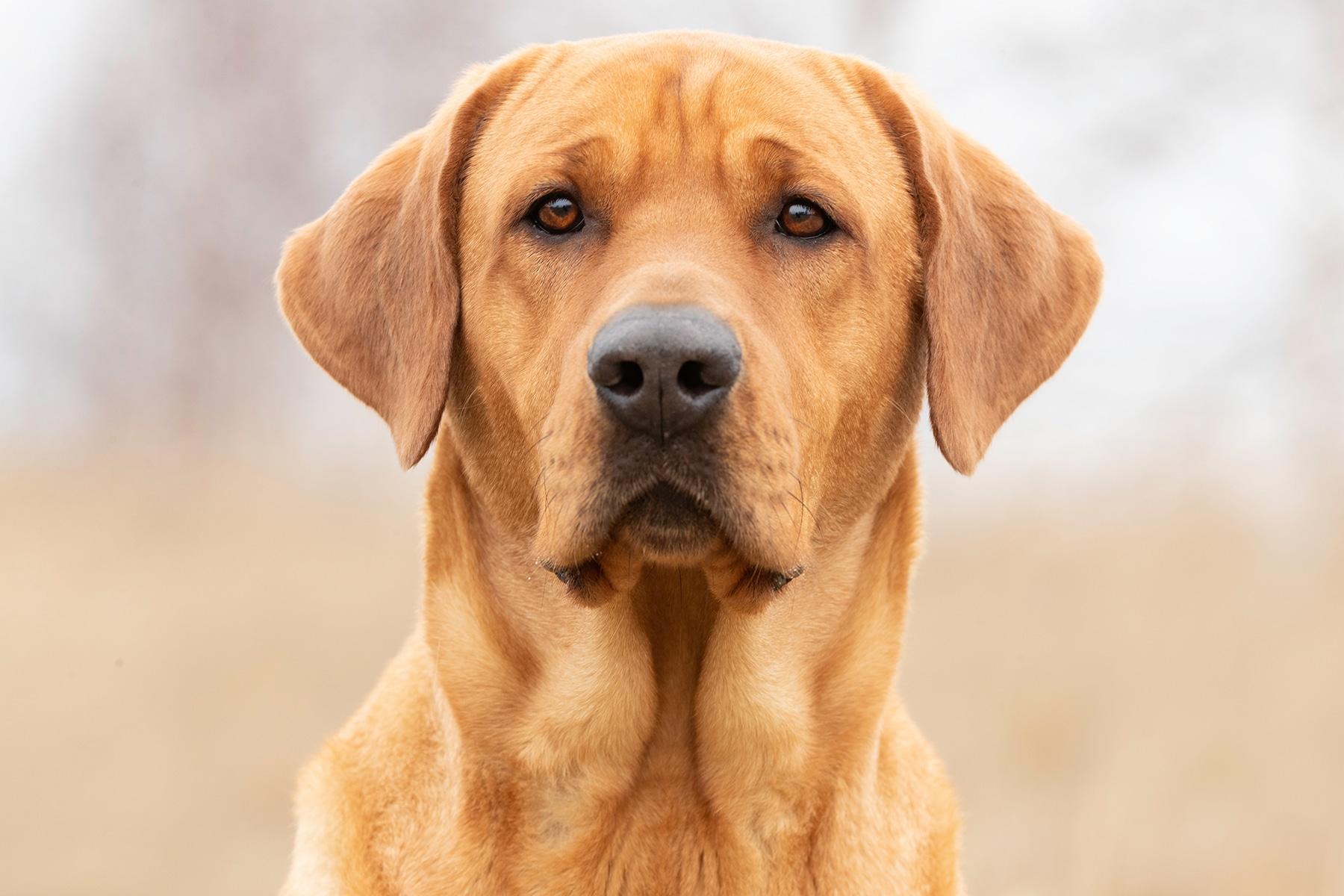 Broholmer Hund Kopf