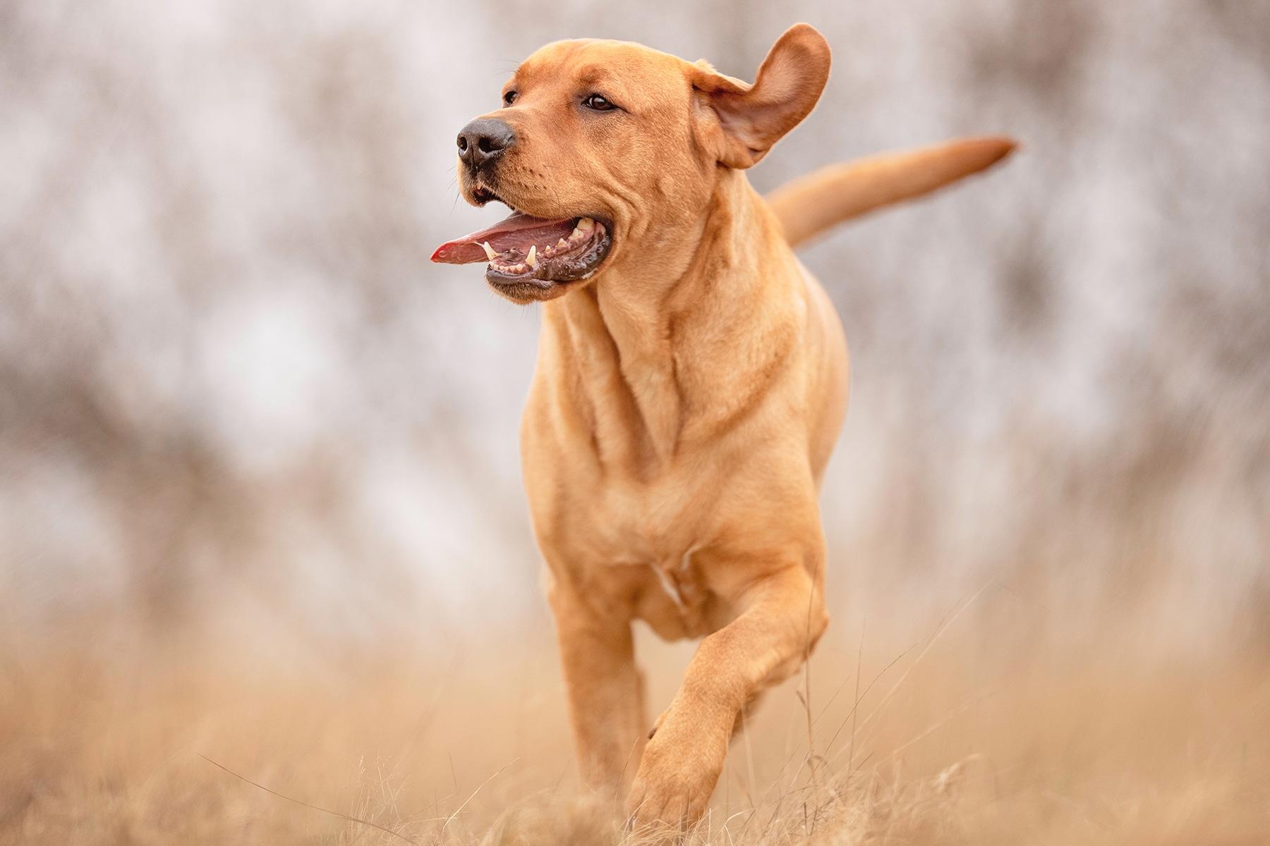 Broholmer Hund läuft