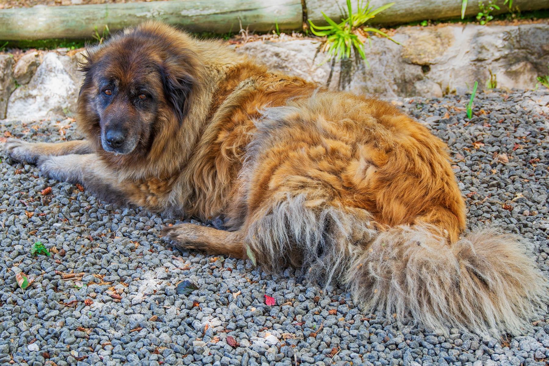 Cão Da Serra Da Estrela Hund liegend