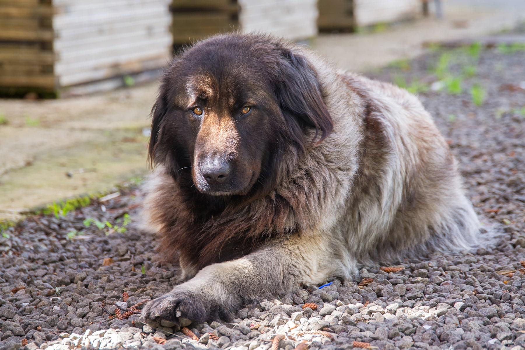 Cão Da Serra Da Estrela Hund