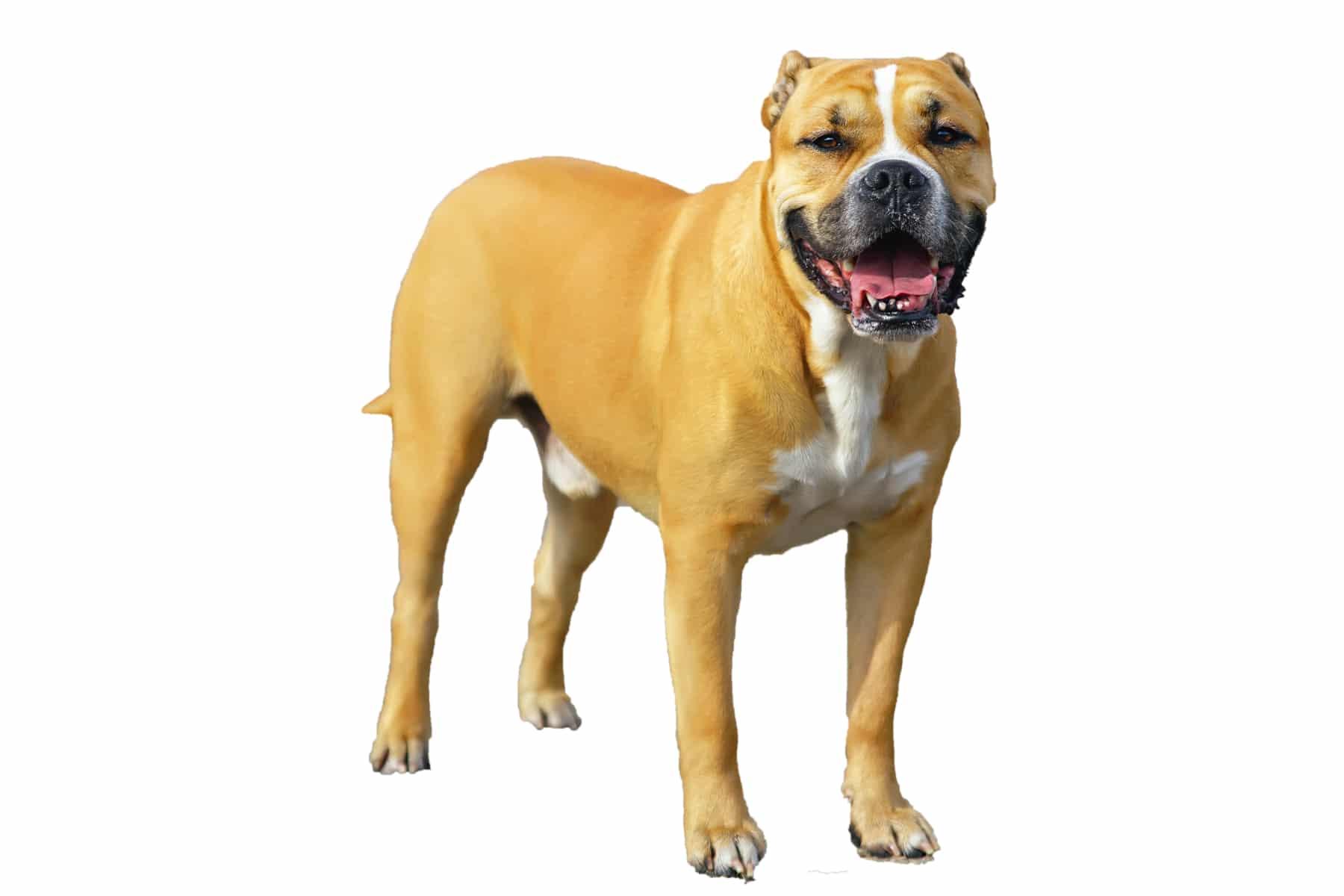 Ca De Bou Hund Profil