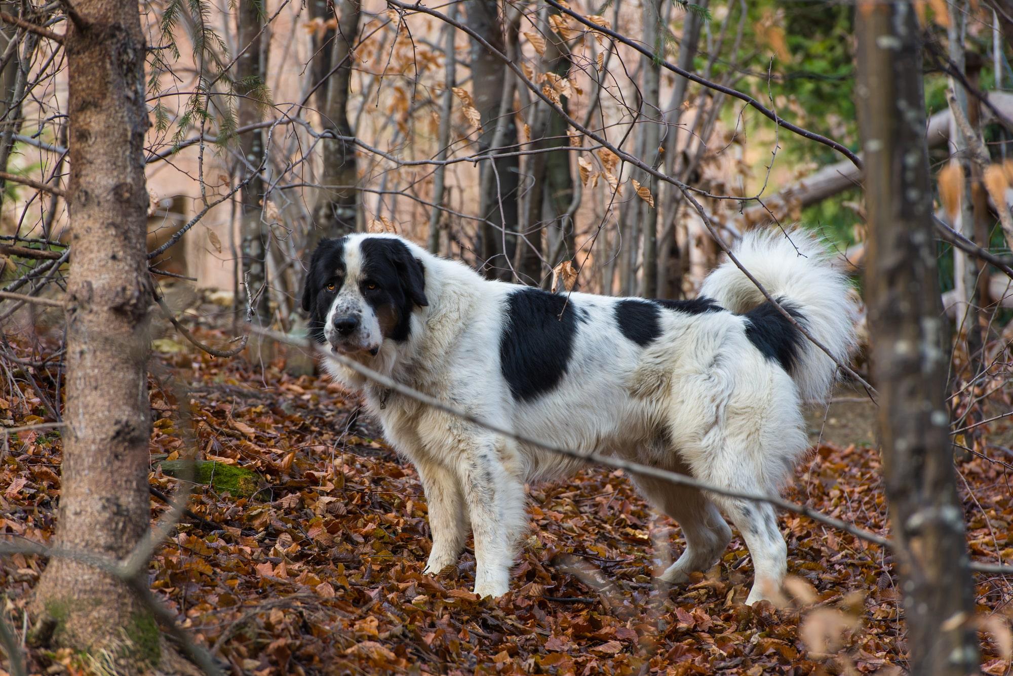 Ciobănesc Românesc De Bucovina im Wald