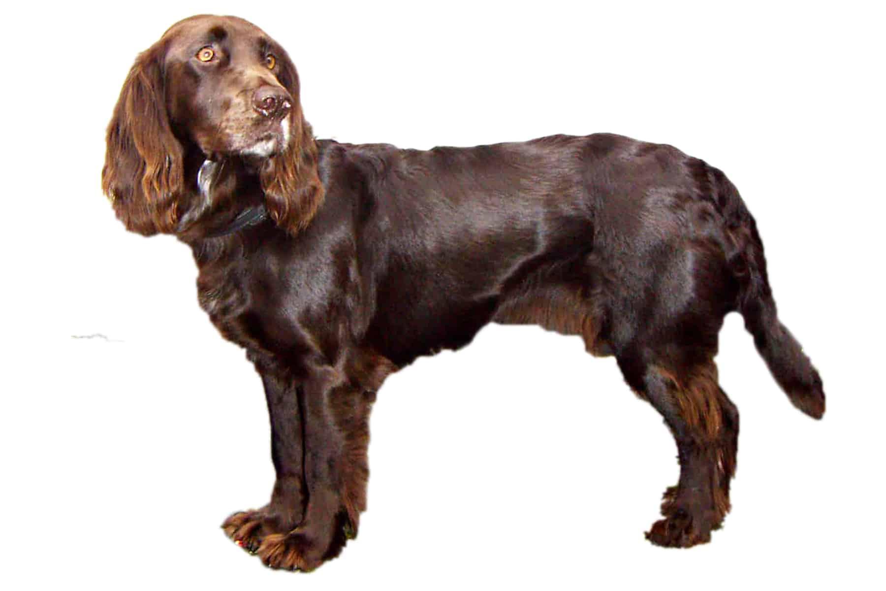 Deutscher Wachtelhund Profilbild