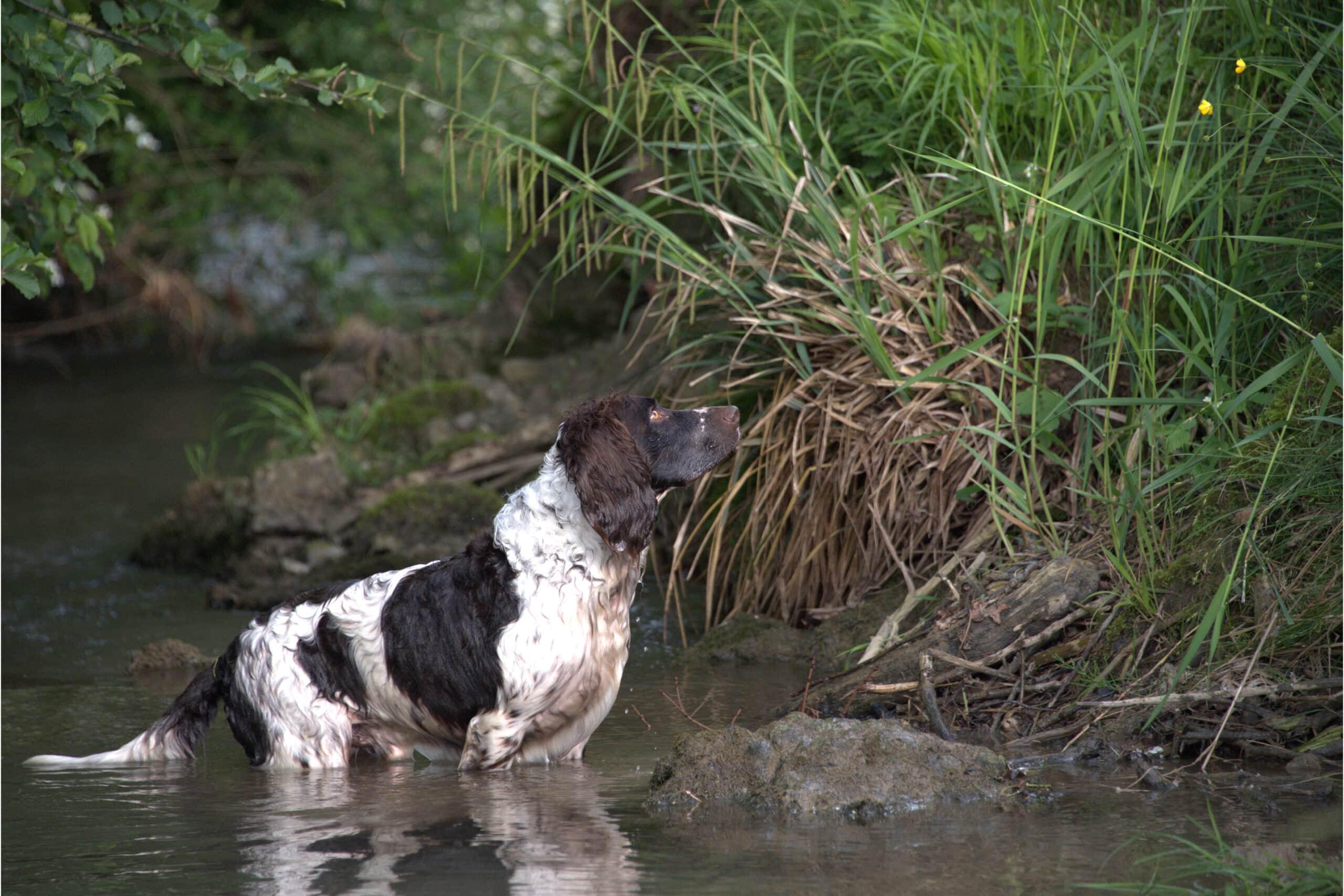 Deutscher Wachtelhund im Wasser