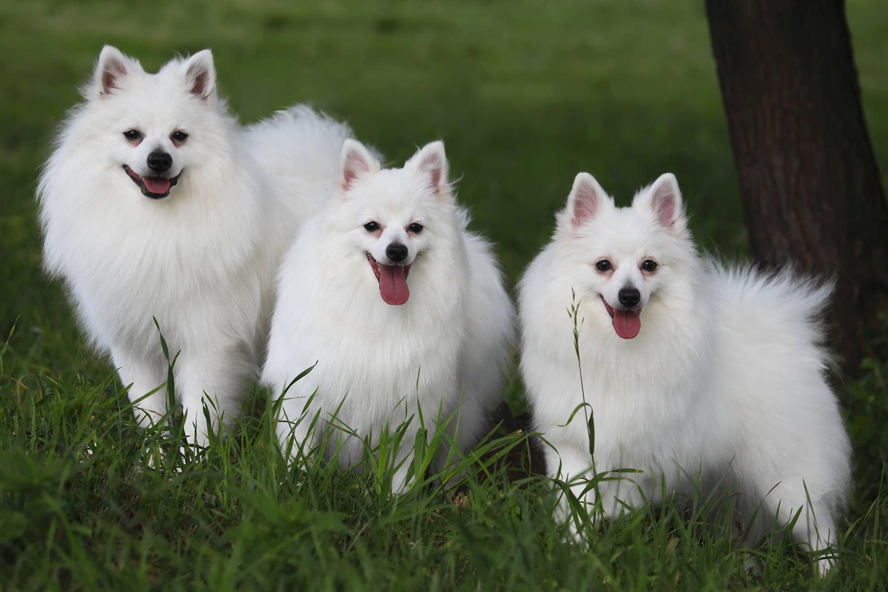 Drei Volpino Italiano Hunde