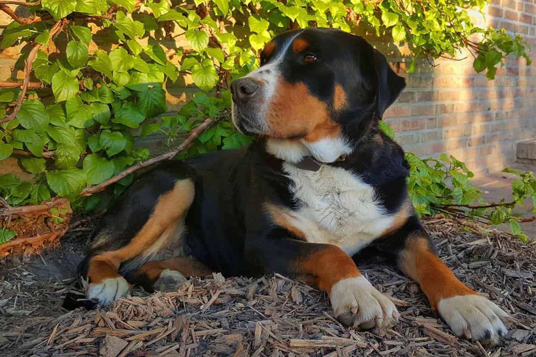Entlebucher Sennenhund liegt