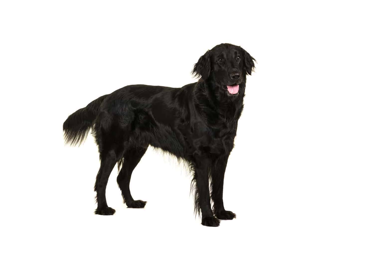 Flat Coated Retriever Hund Profil
