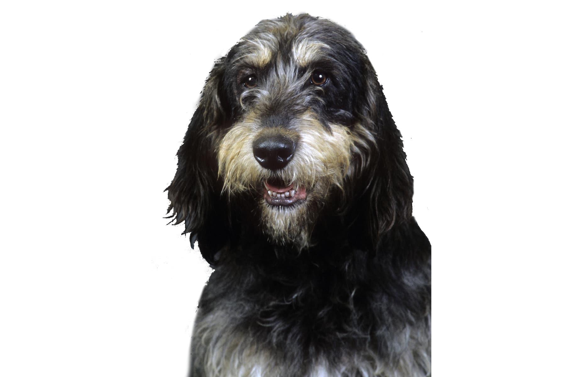 Griffon Nivernais Profilbild