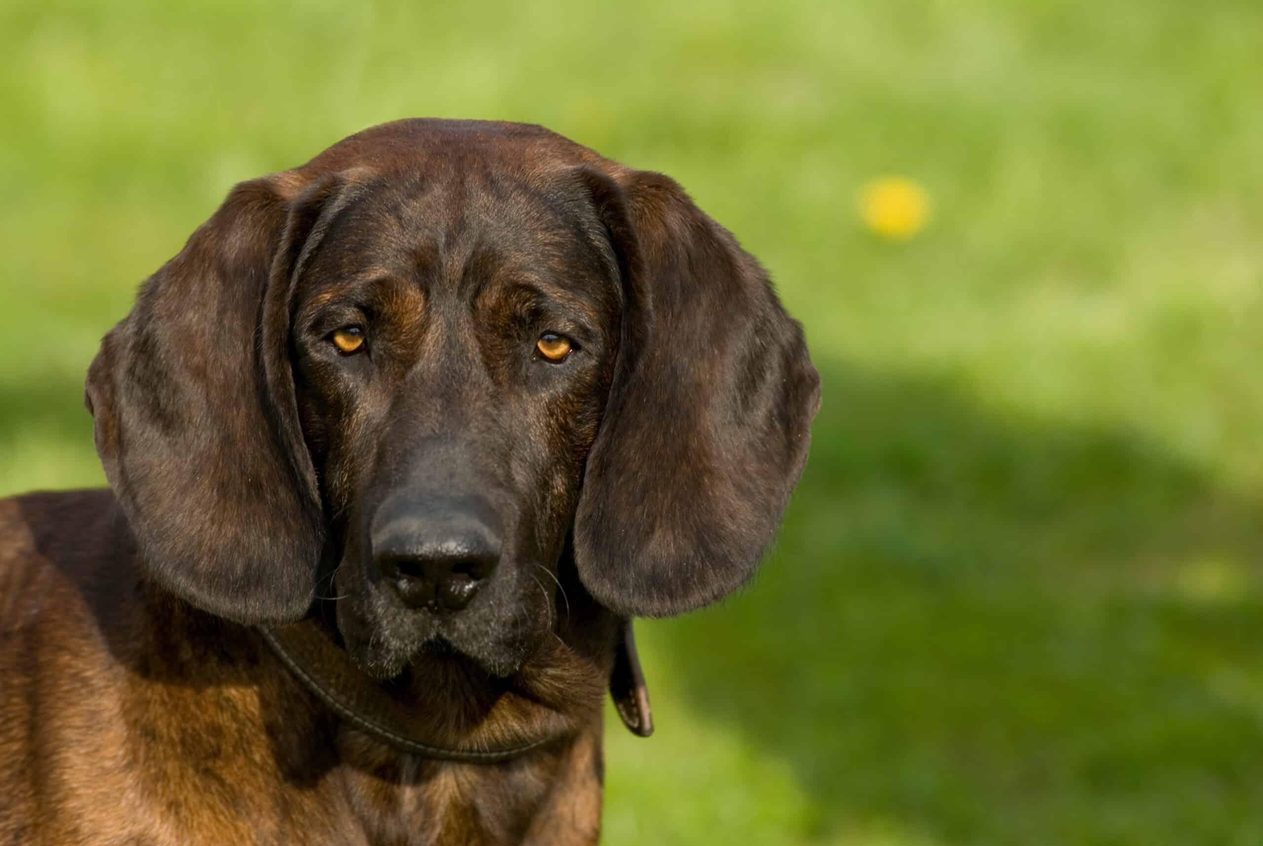 Hannoverscher Schweißhund Portrait