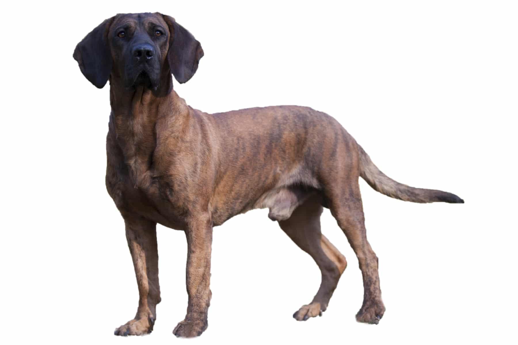 Hannoverscher Schweißhund Profilbild