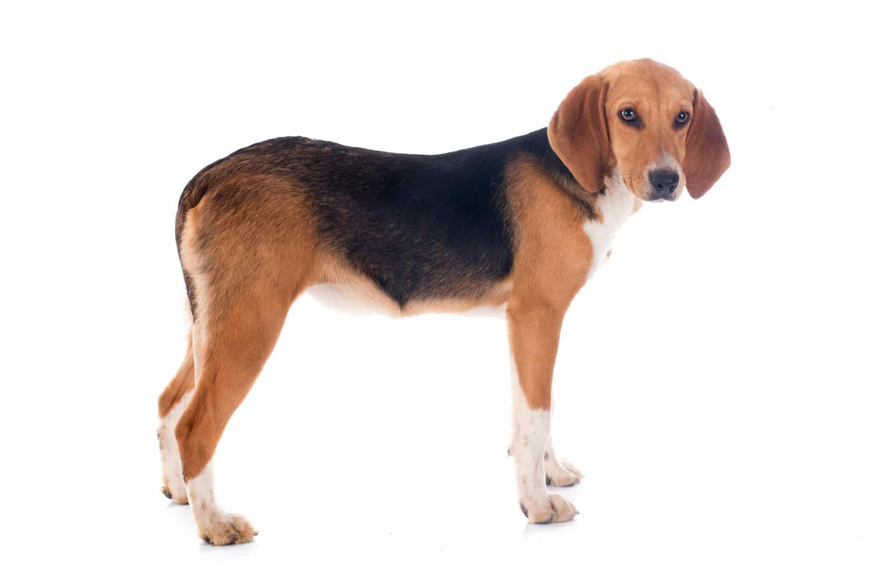Harrier Hund Profilbild