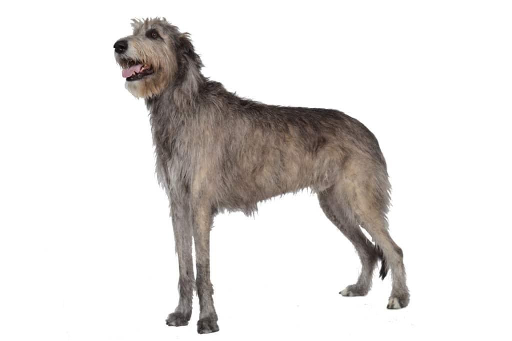 Irischer Wolfshund Hunderasse Profilbild