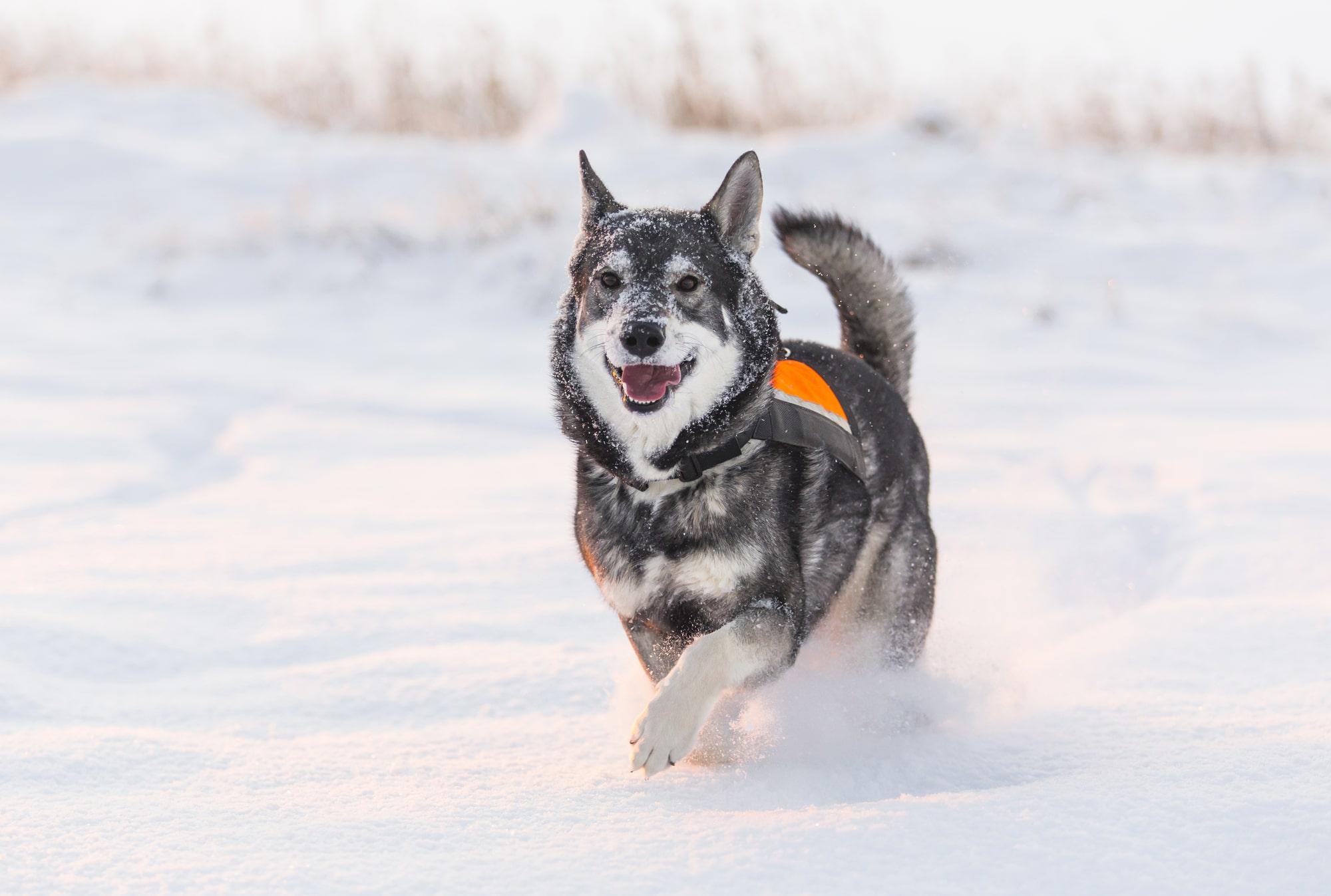 Jämthund im Schnee