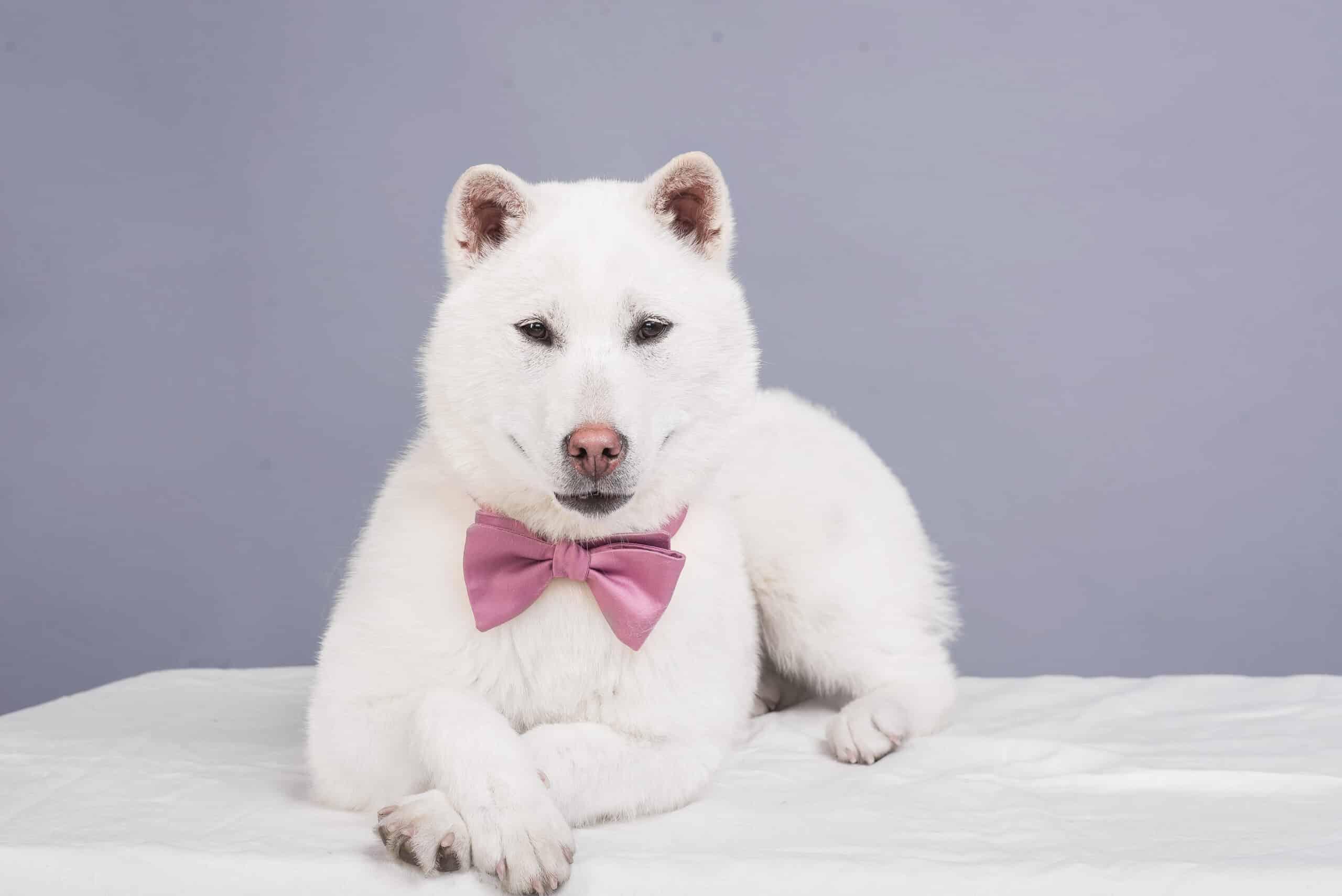 Kishu Hund Portrait