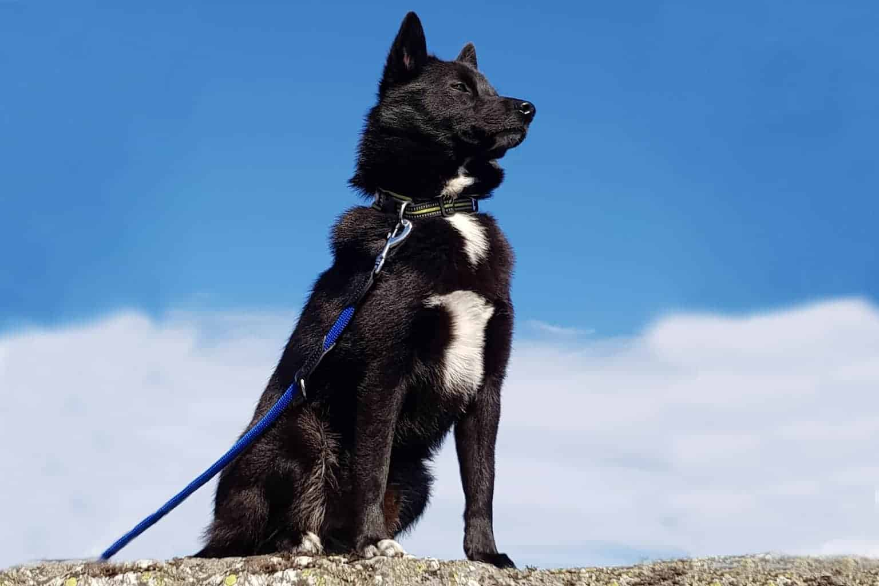 Norwegischer Buhund schwarz