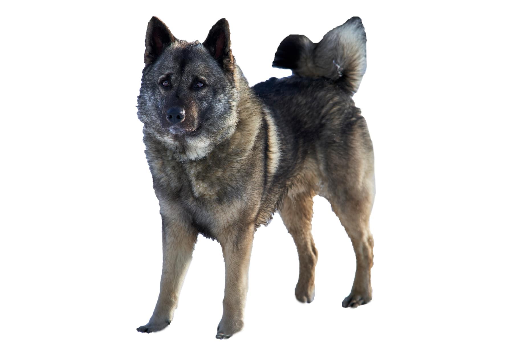 Norwegischer Elchhund Grau Hunderasse Profilbild