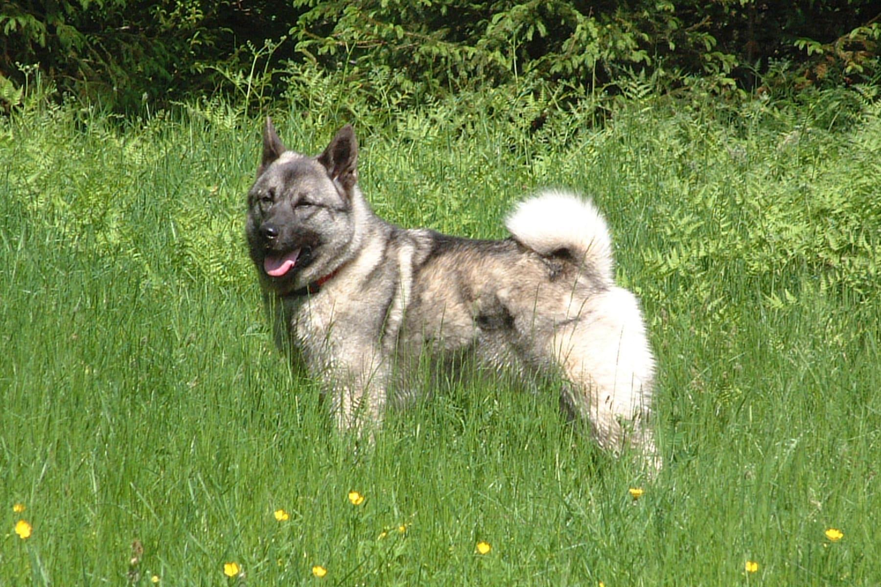 Norwegischer Elchhund Grau auf der Wiese
