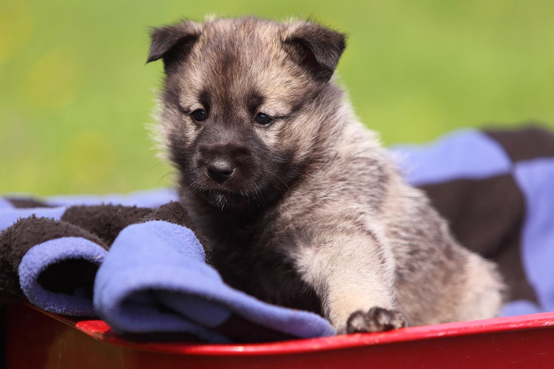 Norwegischer Elchhund Grau kleiner Welpe