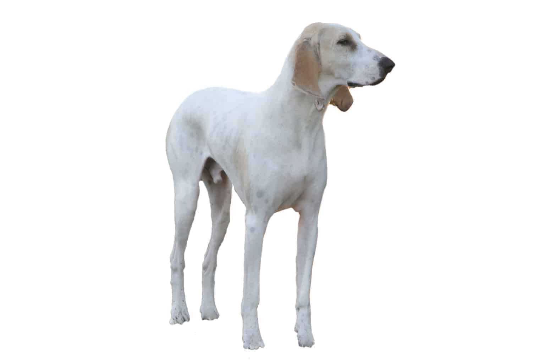 Porcelaine Hunderasse Profilbild