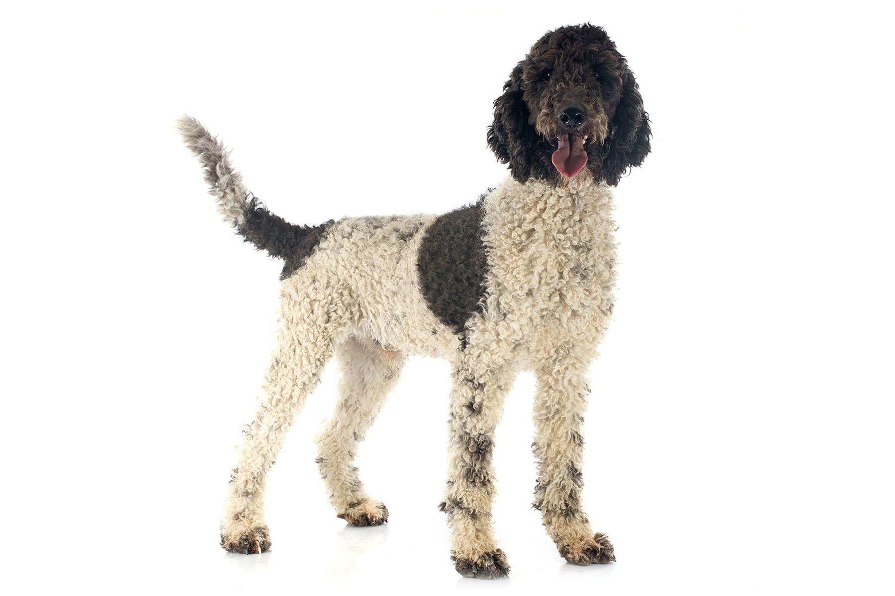 Portugiesischer Wasserhund Hunderasse Profil