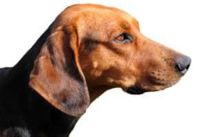 Schillerstövare Profilbild