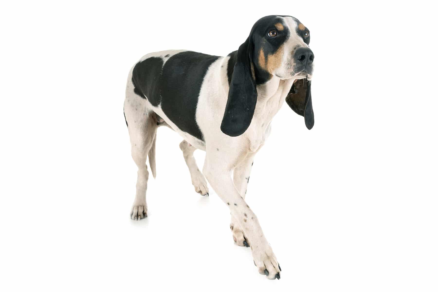 Schweizer Laufhund Profilbild