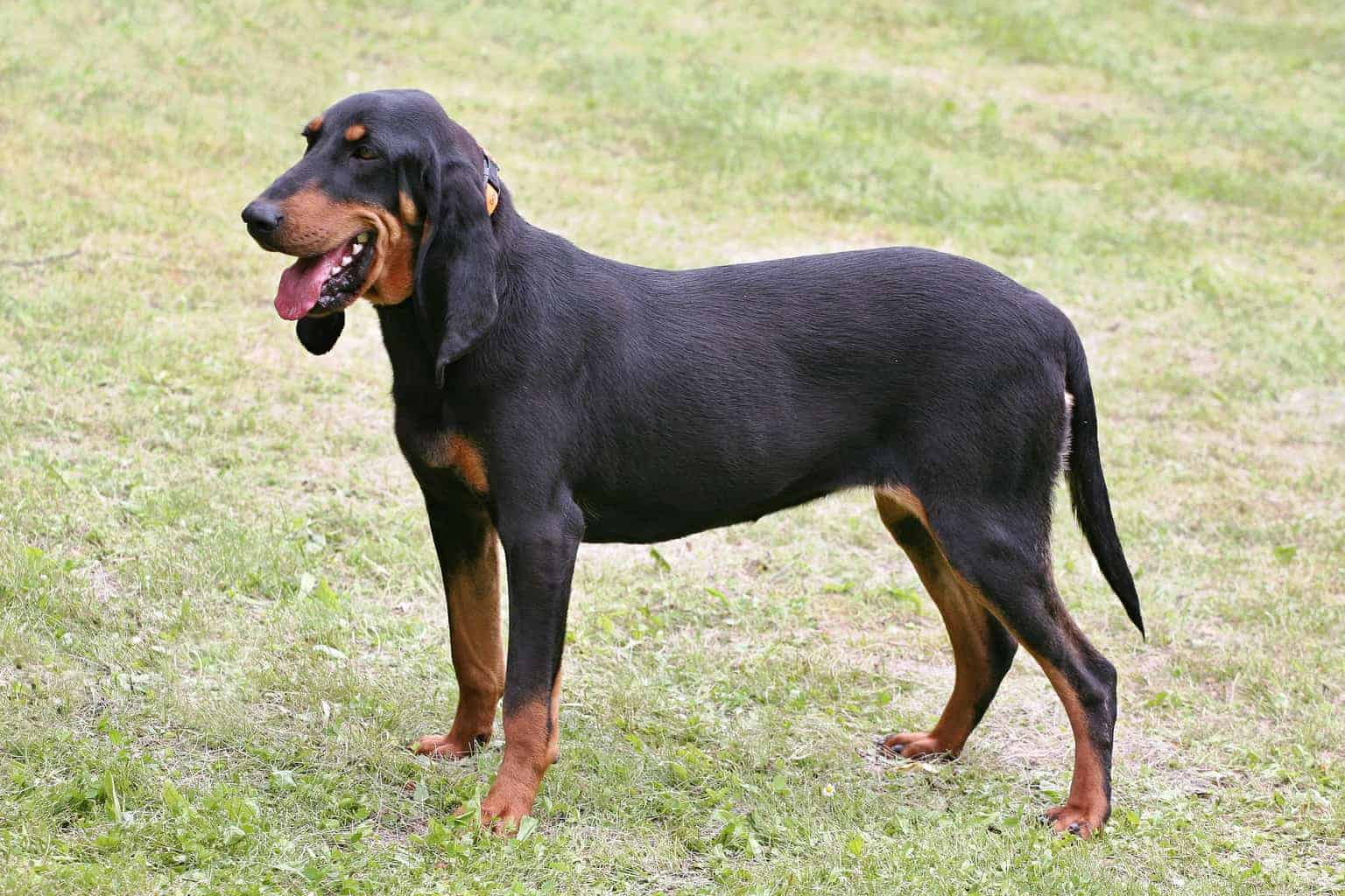 Schweizer Laufhund seitlich