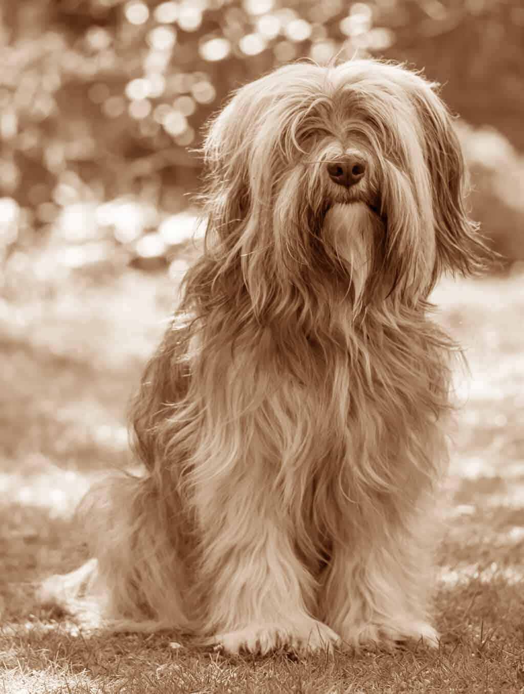 Tibet Terrier Geschichte