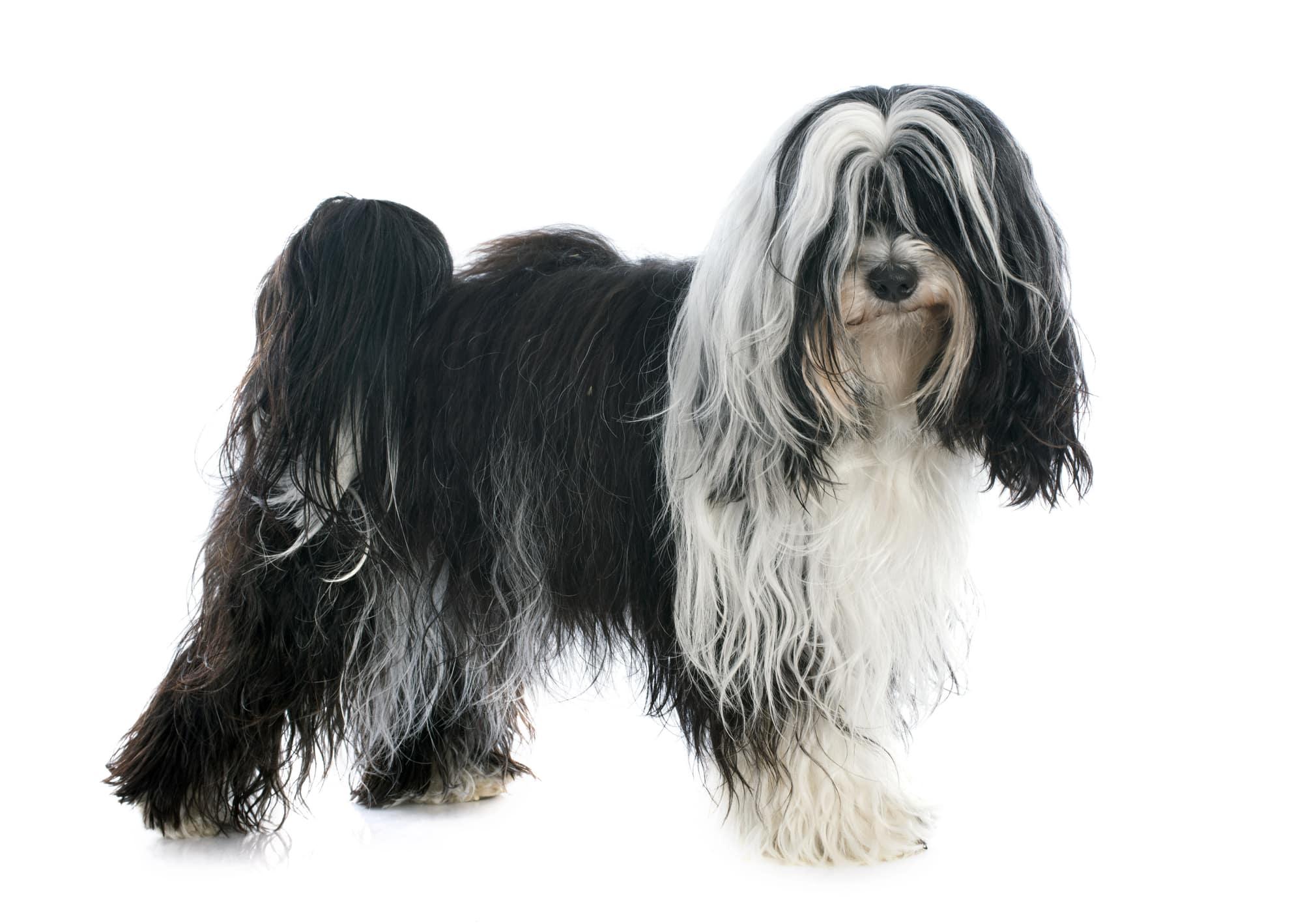 Tibet Terrier Profil