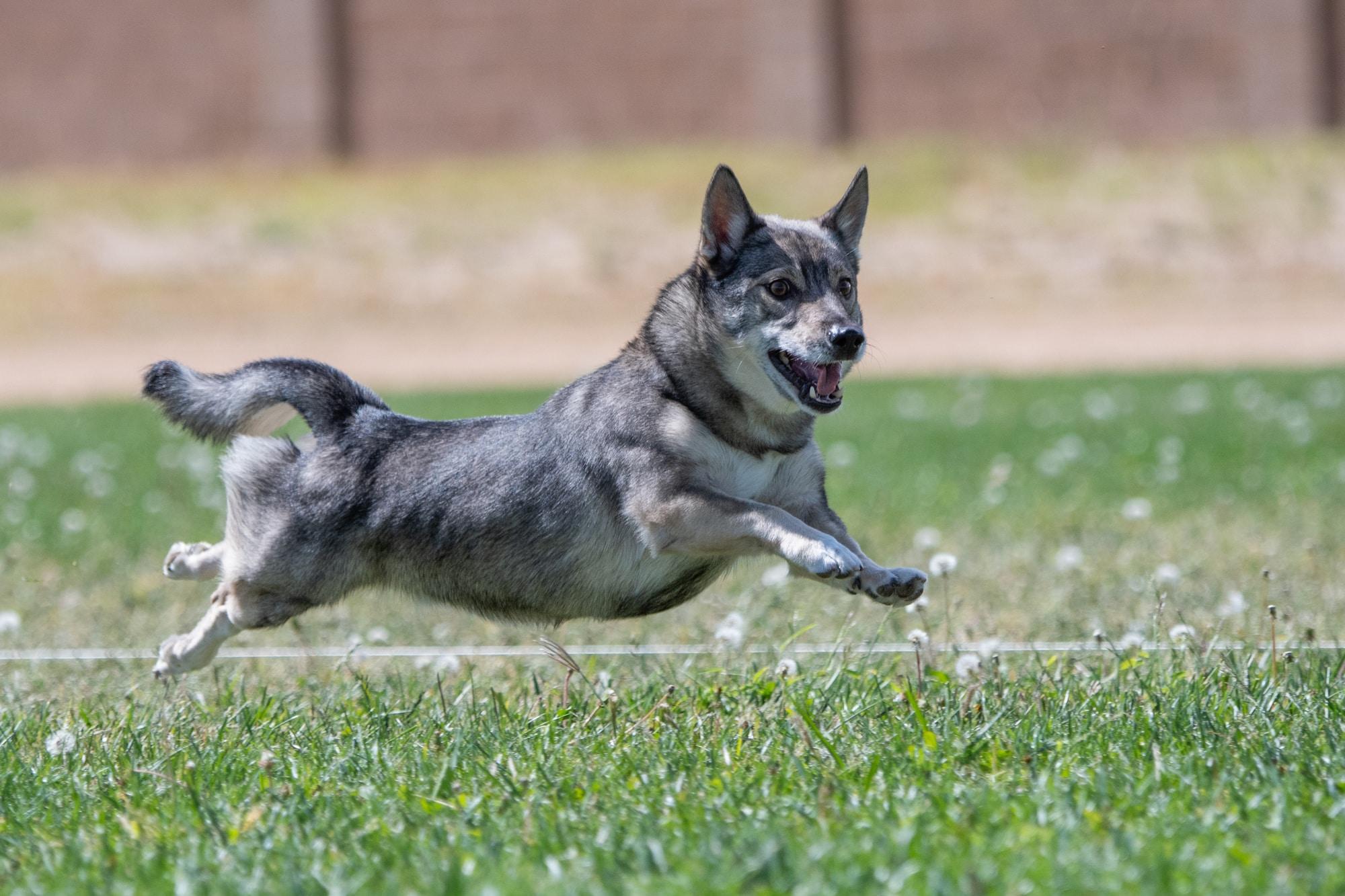 Västgötaspets (Schwedischer Wallhund) springt