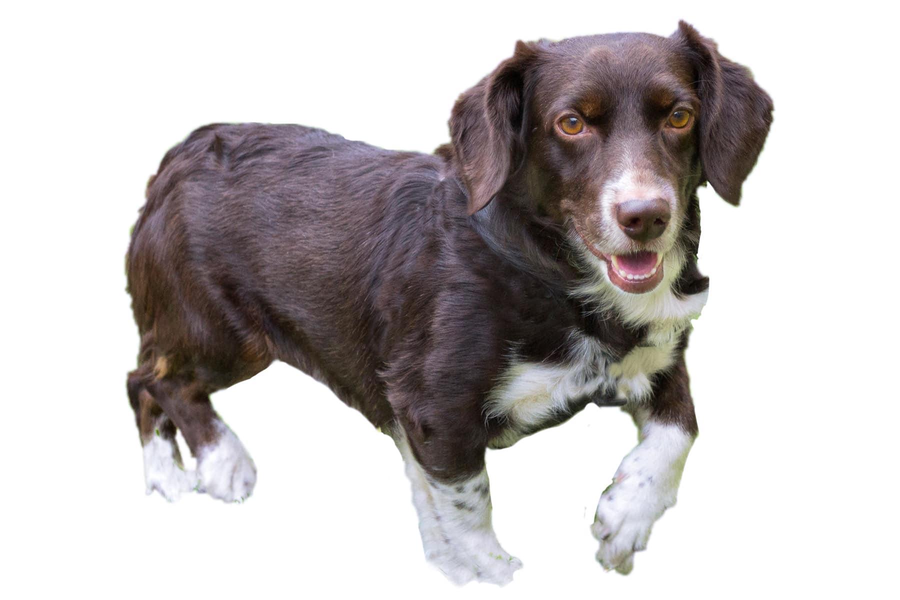 Westfälische Dachsbracke Hund Profil