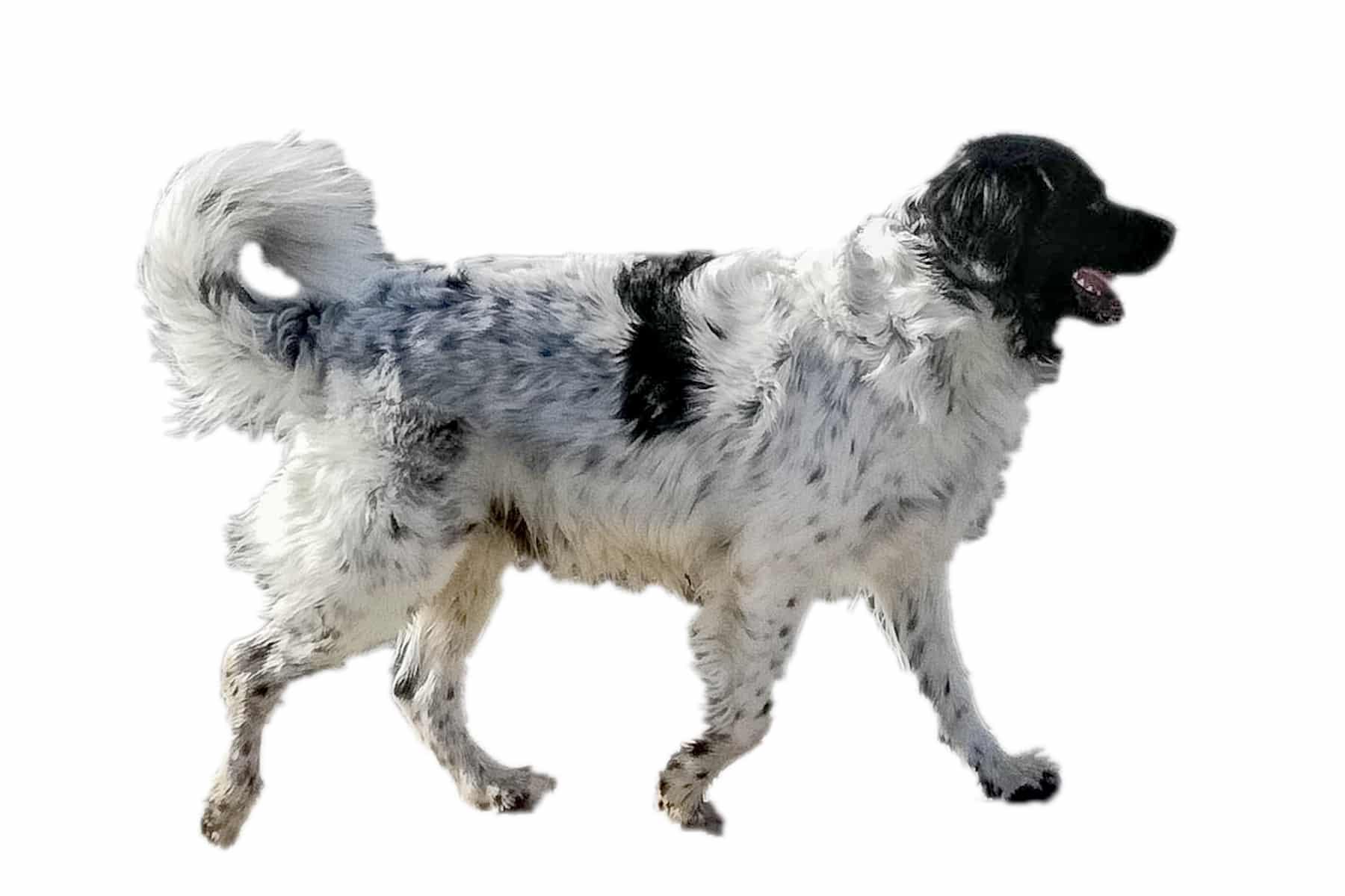 Wetterhoun Hunderasse Profilbild