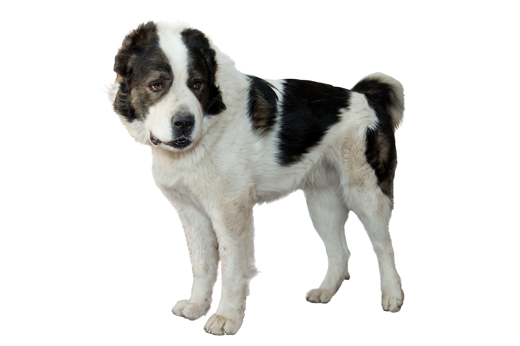 Zentralasiatischer Owtscharka Hunderasse Profilbild
