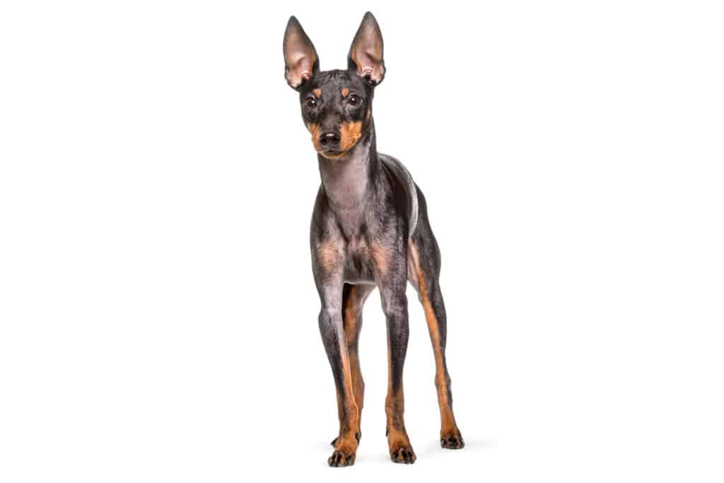 English Toy Terrier Hunderasse Profil