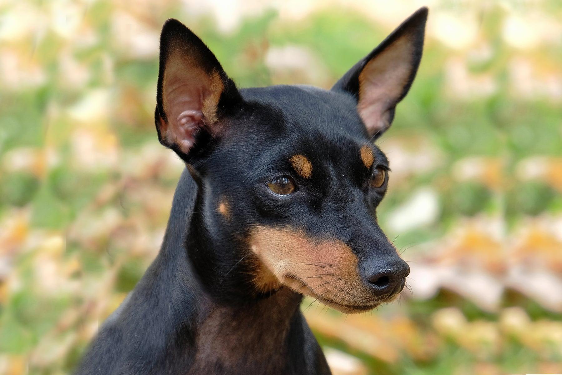 English Toy Terrier Kopf