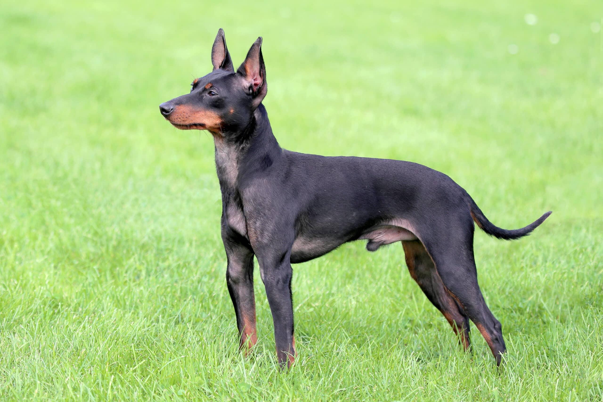 English Toy Terrier seitlich