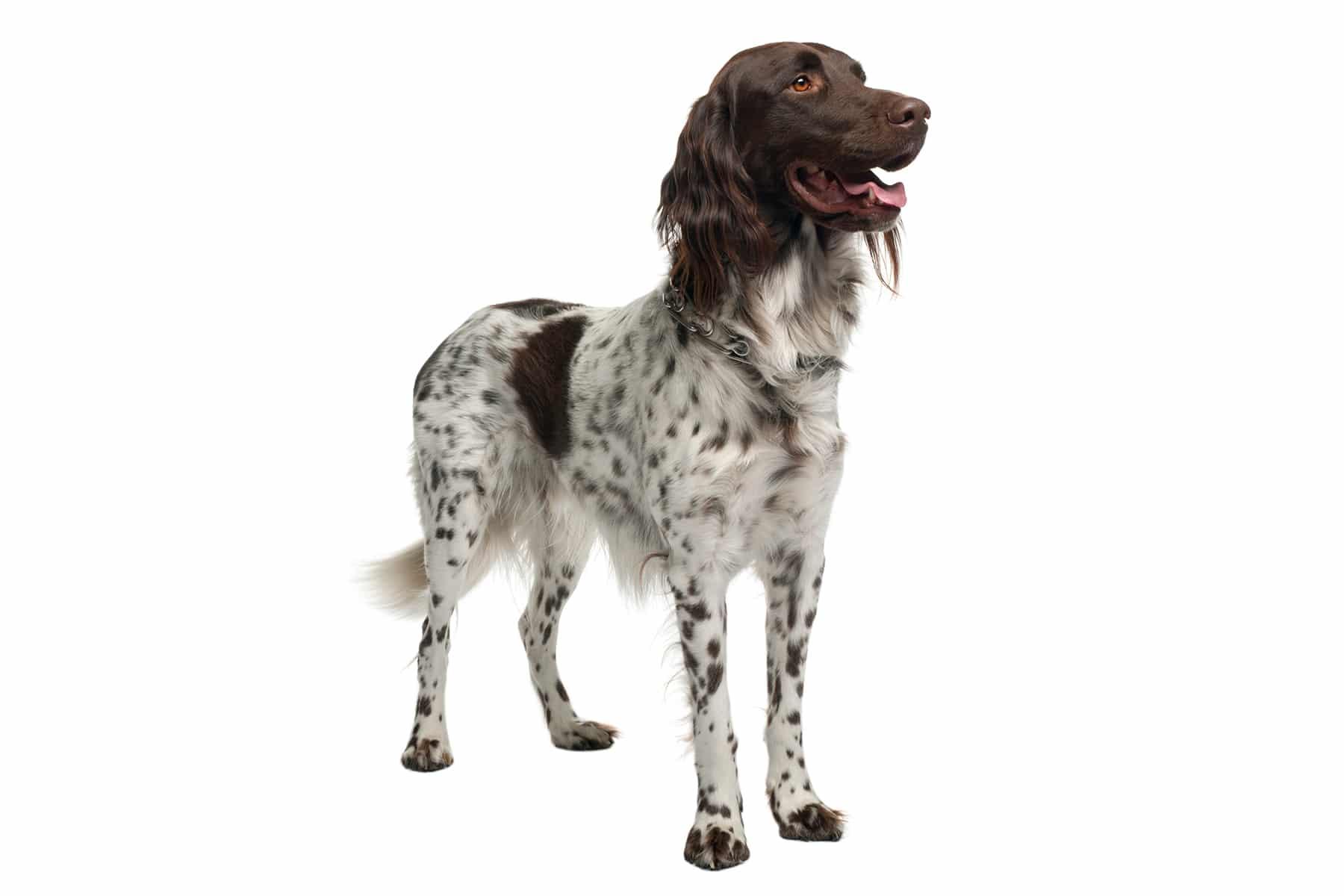 Kleiner Münsterländer Hunderasse Profil
