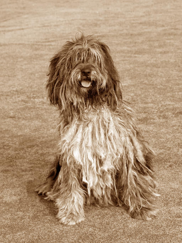Bergamasker Hirtenhund Geschichte
