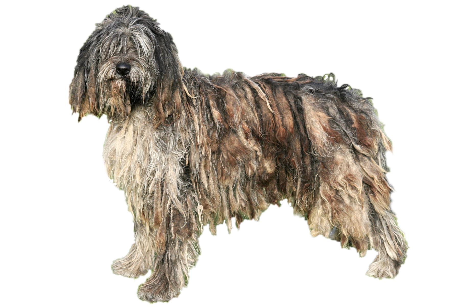 Bergamasker Hirtenhund Profil