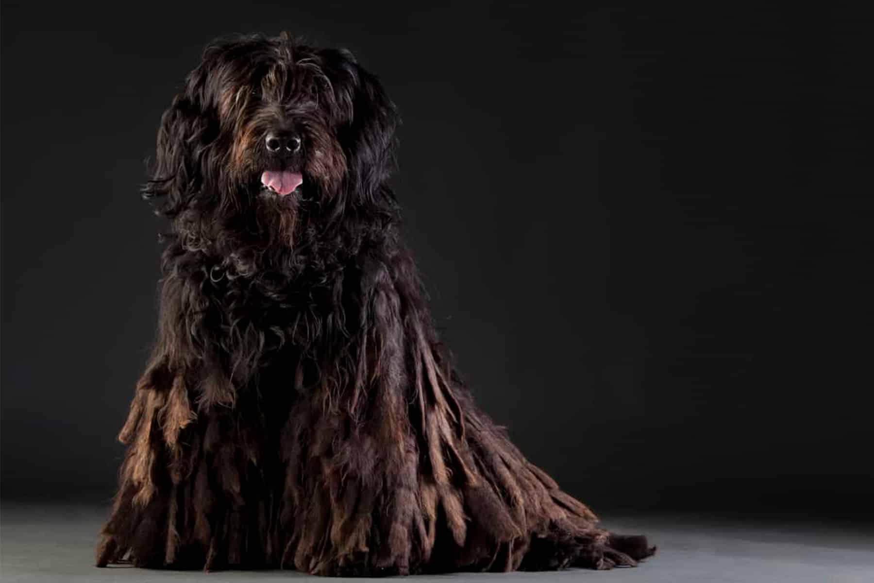 Bermasker Hirtenhund Portrait