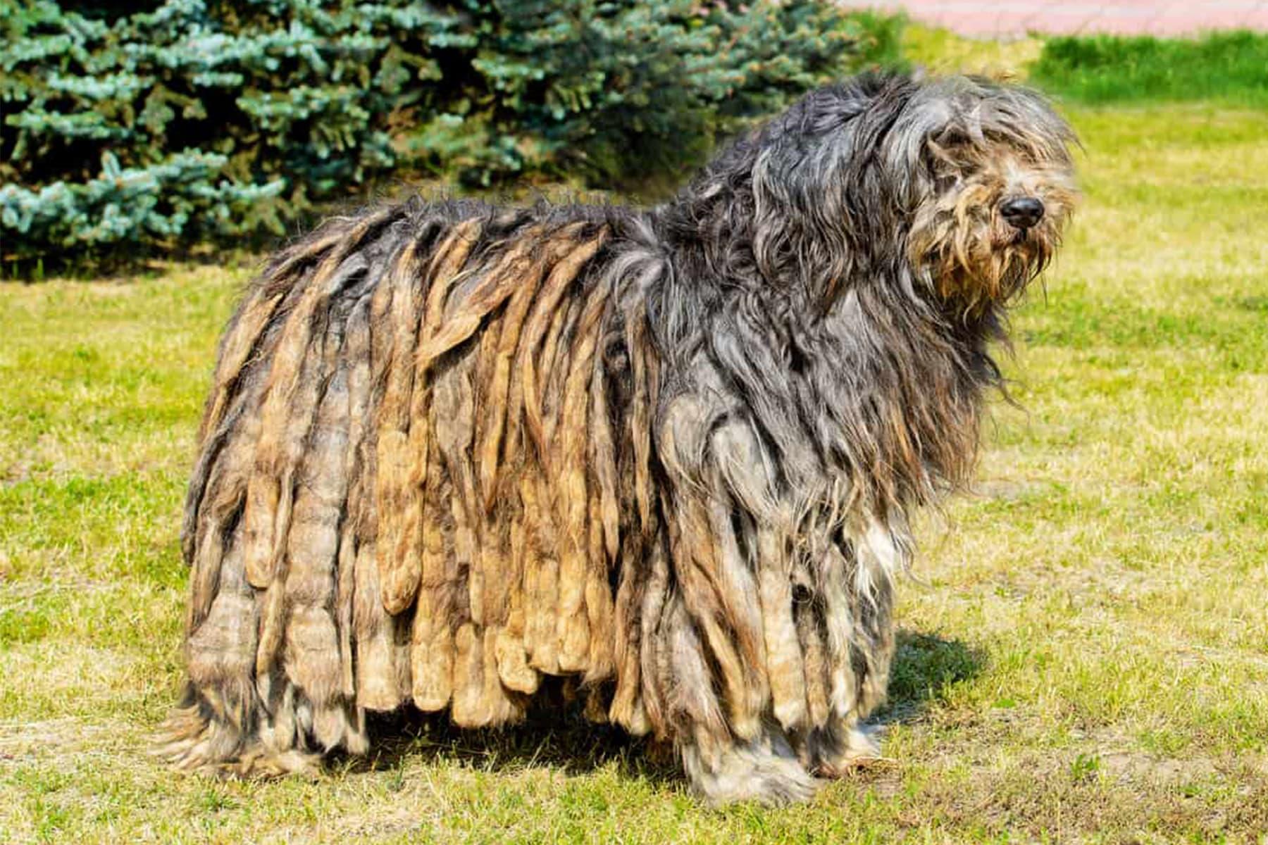 Bermasker Hirtenhund seitlich