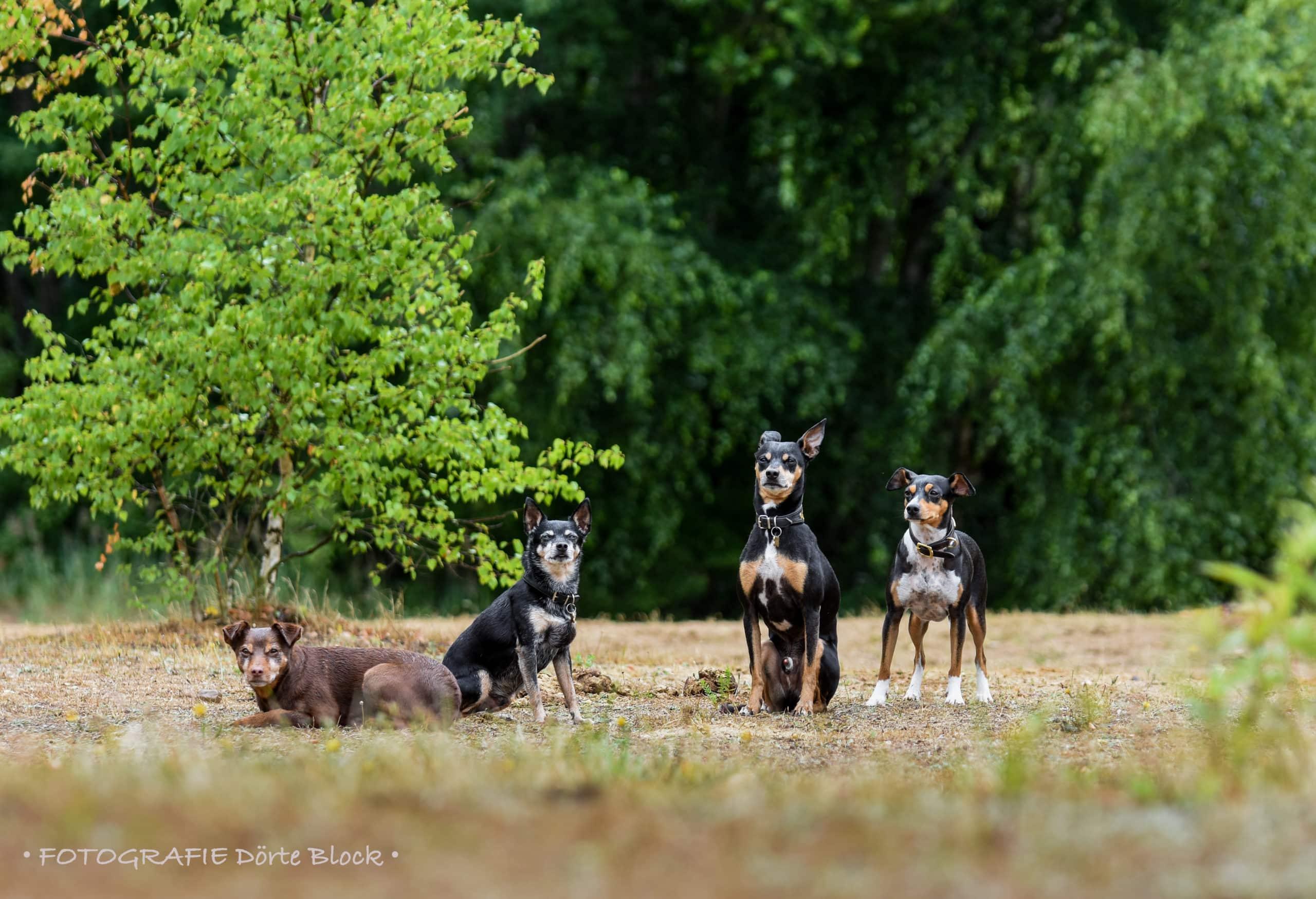 Vier Ratero Mallorquin Hunde