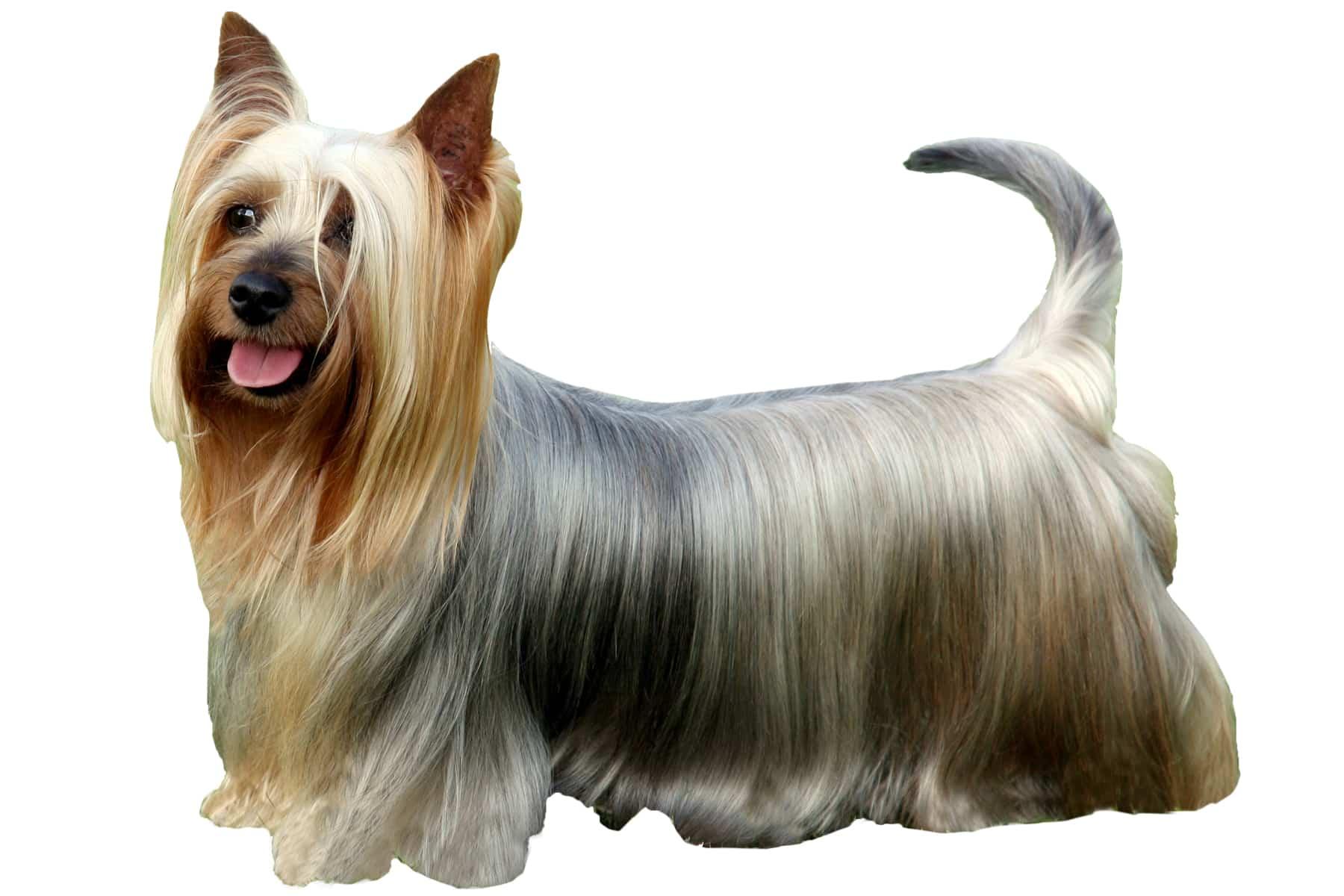 Australian Silky Terrier Profil
